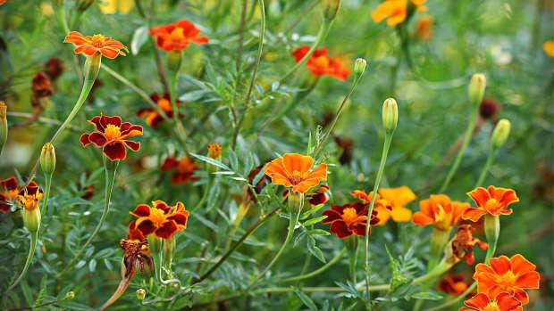 the-benefits-of-marigolds-in-the-garden