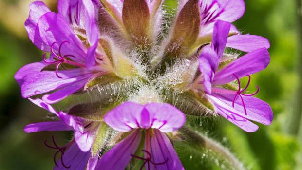 benefits-and-uses-of-geranium-pelargonium