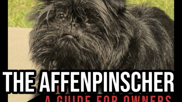 the-affenpinscher-a-guide-for-owners