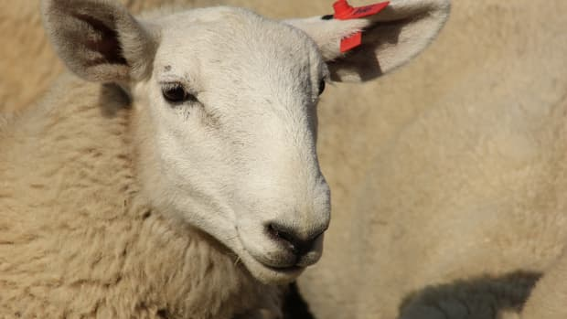 the-cost-of-raising-sheep