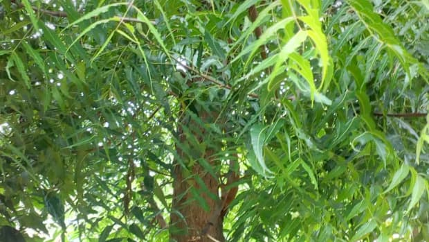 interesting-facts-about-the-neem-tree-description-and-uses