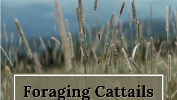 cattail-soup