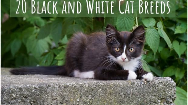 black-and-white-cat-breeds