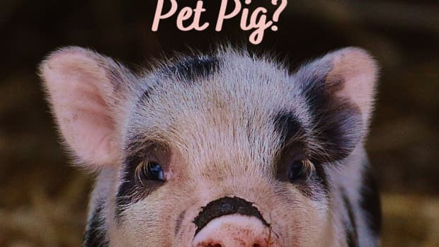 how-to-decide-if-a-pet-pig-is-right-for-you