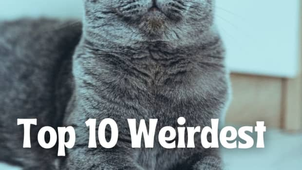 top-10-weirdest-cat-breeds