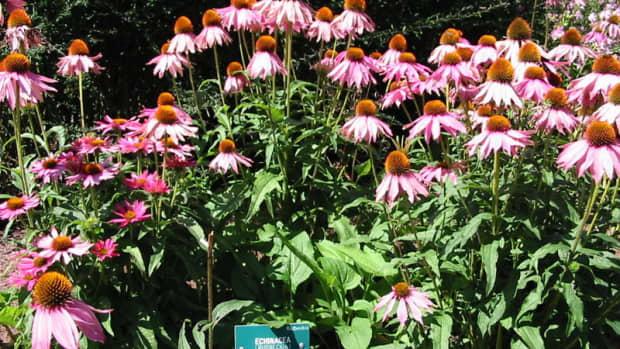 purple-coneflower-garden-classic