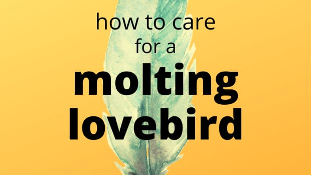 lovebird-molting-symptoms-and-care