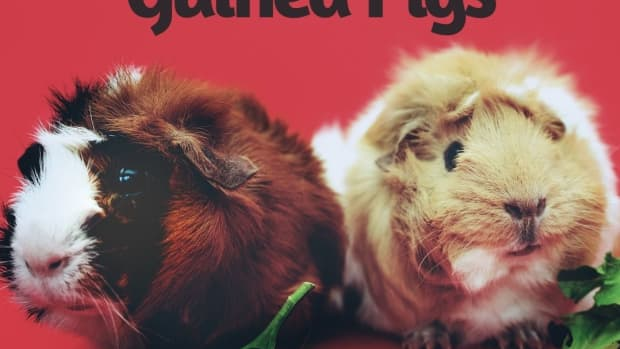 20-facts-about-guinea-pigs