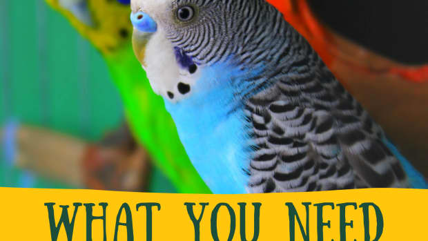 getting-a-budgie-what-you-need