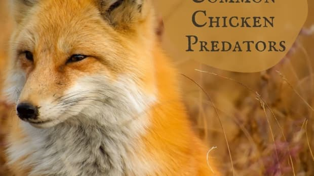 preventing_chicken_predators