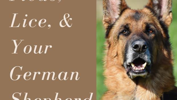 combating-lice-or-fleas-on-german-shepherd-dogs