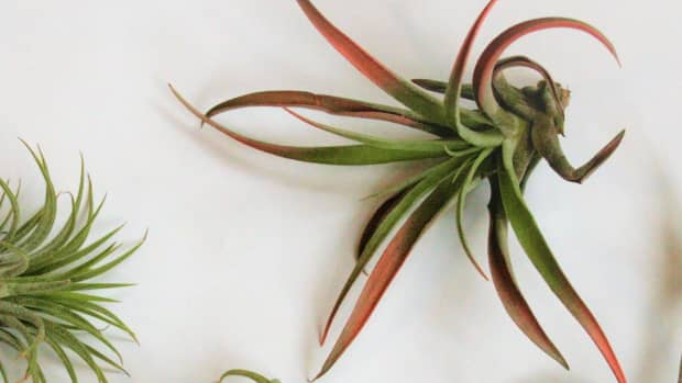 adventures-with-air-plants-tillandsia
