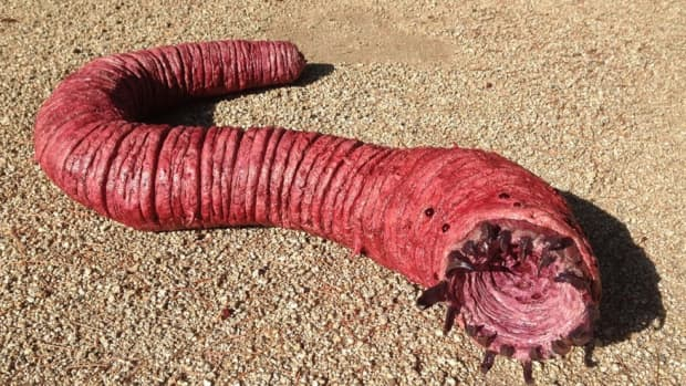 the-most-notorious-death-worm-of-mongolia