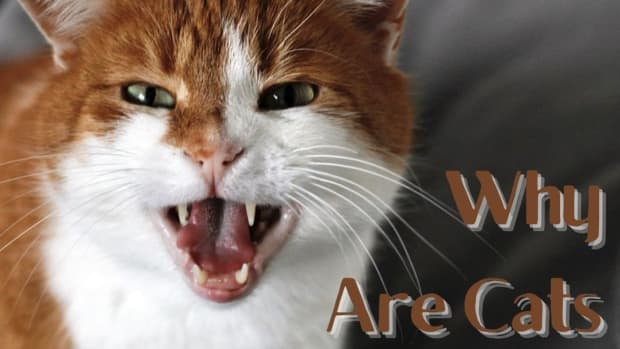 why-are-cats-agressive