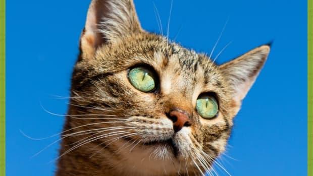 natural-breeds-of-cat-explored