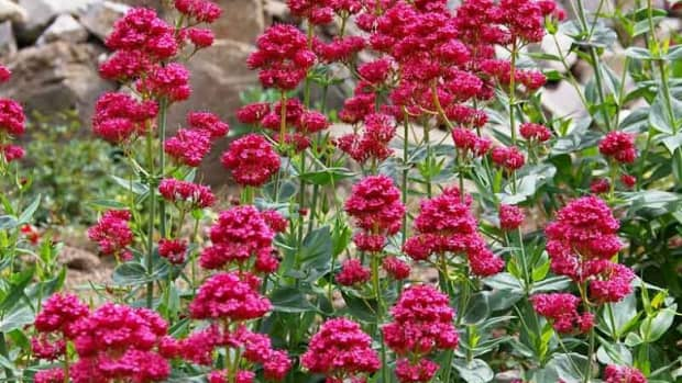 perennial-late-blooming-plants-to-add-color-to-your-fall-garden