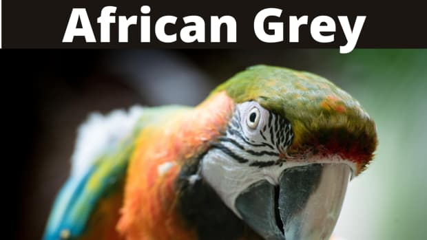 should-i-buy-a-macaw-or-an-african-grey