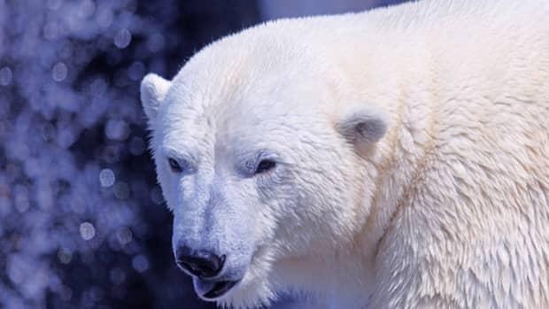 international-polar-bear-day