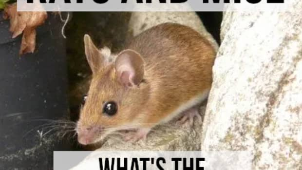 whats-the-difference-between-a-rat-and-a-mouse