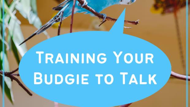 teaching-a-parakeet-to-speak