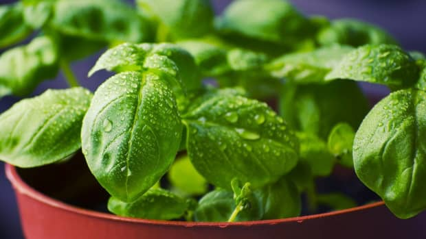 ultimate-care-guide-for-growing-basil