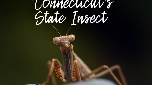 state-insect-of-connecticut