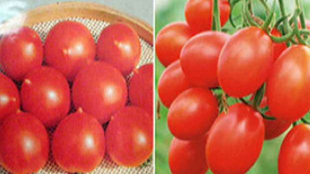 cherry-tomatoes-vs-grape-tomatoes-whats-the-difference