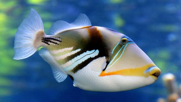 the-amazing-world-of-the-triggerfish