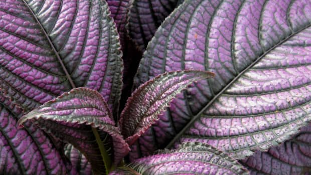 purple-plants-for-the-patio-and-yard
