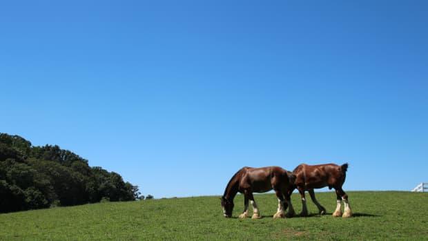 top-10-heaviest-horse-breeds