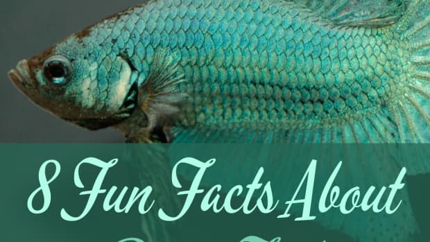 10-fascinating-facts-about-siamese-fighting-fish