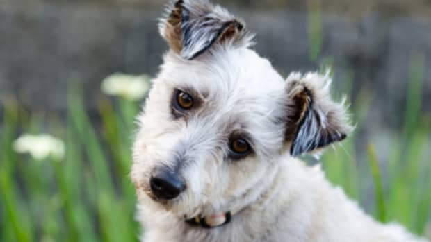 why-do-dogs-tilt-their-heads-when-you-talk-to-them