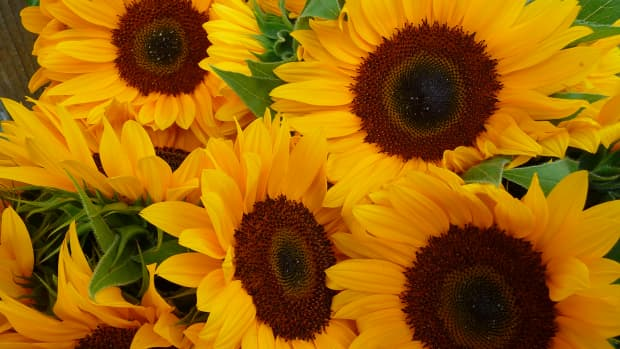 sunflower-seed-facts