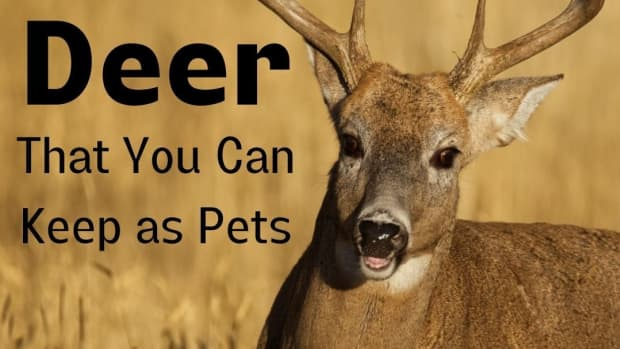 deer-species-exotic-pets