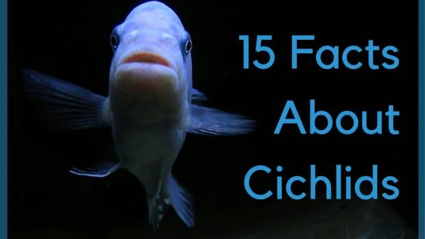 chichlidfishtop20aquariumfreshwaterforsaleangelfishinterestingfacts