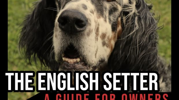 the-english-setter-a-guide-for-owners