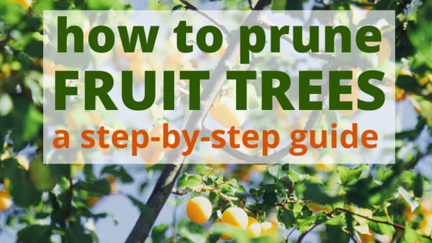 how-to-prune-fruit-trees