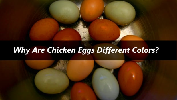 why-are-chicken-eggs-different-colors