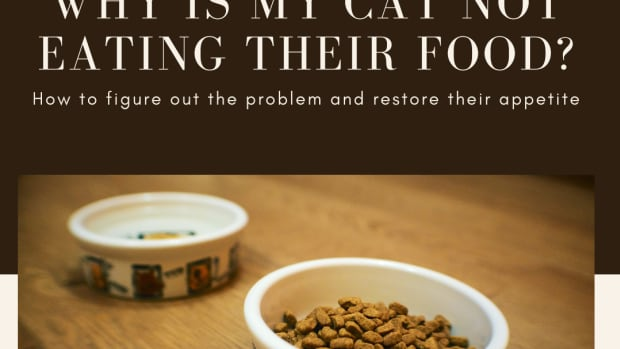 cat-not-eating