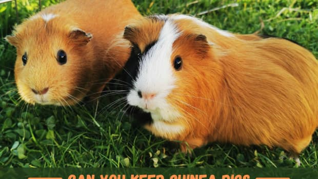 can-i-keep-my-guinea-pig-outdoors