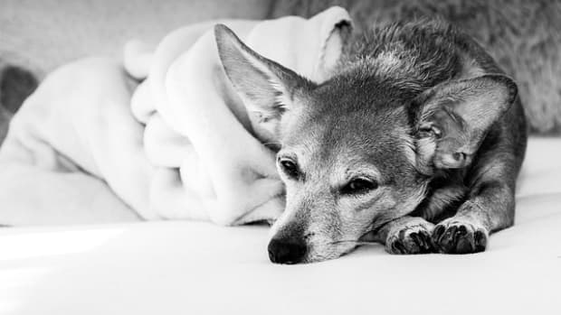veterinarian-shares-tips-on-how-to-make-a-dog-comfortable-before-euthanasia-appointment