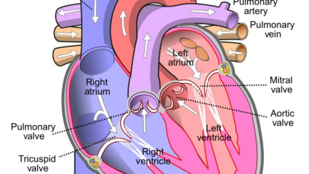 heart-function-and-rhythms