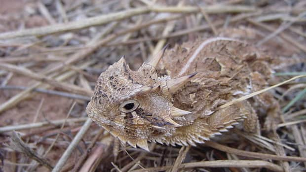 the-horned-lizard-a-very-unique-and-interesting-reptile