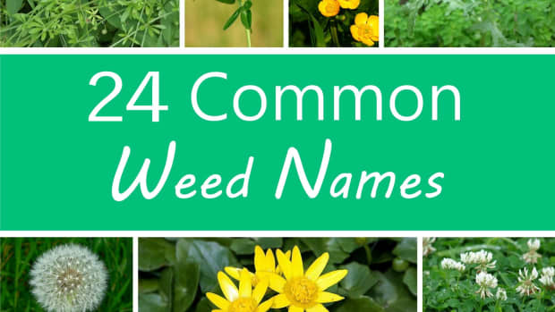 a-guide-to-common-weeds-names