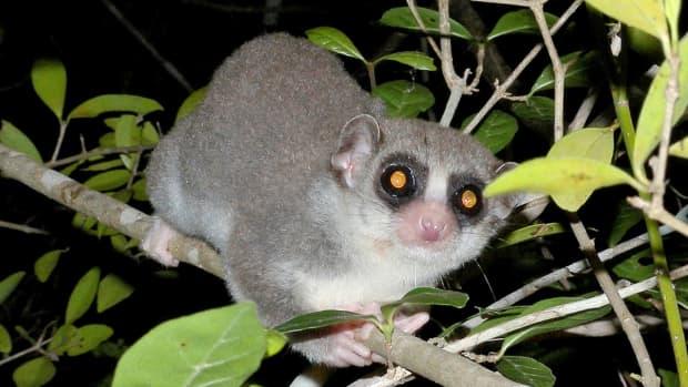 fat-tailed-dwarf-lemur-an-interesting-primate-that-hibernates