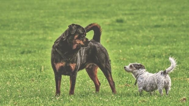 do-rottweilers-get-along-with-other-dogs