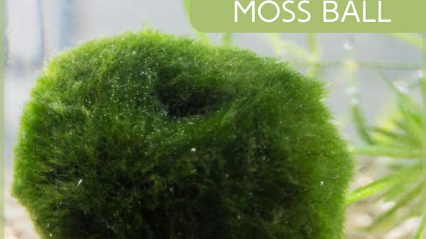 benefits-of-the-marimo-moss-ball