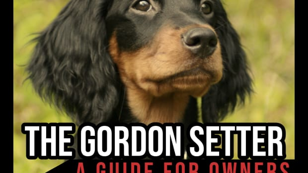 the-gordon-setter-a-guide-for-owners