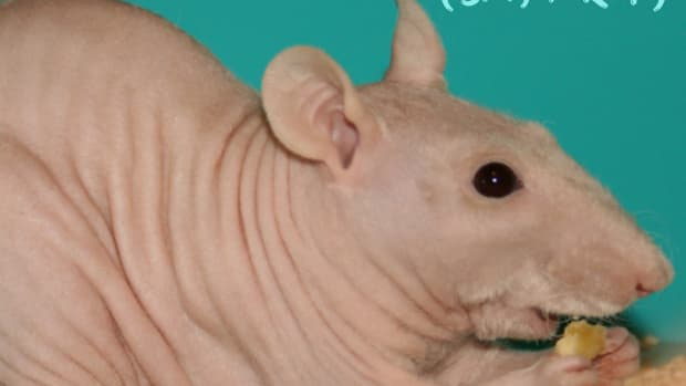 how-to-breed-healthy-furless-rats
