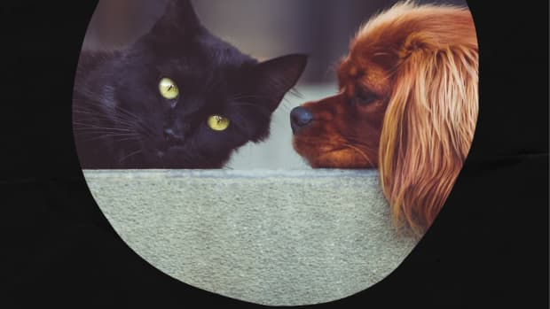 how-to-stop-a-cat-from-attacking-dogs
